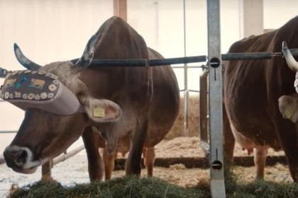 cows-virtual-reality-headsets.jpg